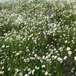 Distesa di fiori